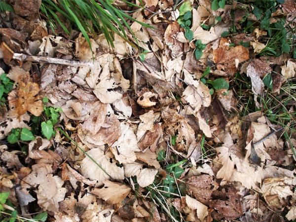 leaf_forest_1